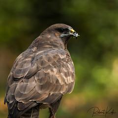 Close-up Common Buzzard! (Jambo53 ()) Tags: crobertkok roofvogel raptor birdofprey netherlands nikond800