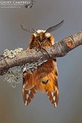 Kentish Glory (Endromis versicolora) (gcampbellphoto) Tags: kentishglory endromisversicolora moth insect macro nature wildlife cairngorms aviemore scotland gcampbellphoto