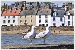 Gullability! (john.methven) Tags: anstruther fife scotland birds gulls sea water east neuk architecture travel buildings cute pair two duo wildlife