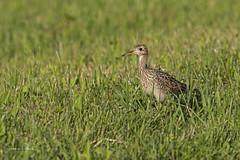 Upland Sandpiper (Stephen J Pollard (Loud Music Lover of Nature)) Tags: zarapitoganga uplandsandpiper bartramialongicauda bird ave