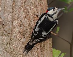 Great Spotted Woodpecker (  Dendrocopos major ) Male (Dale Ayres) Tags: great spotted woodpecker dendrocopos major male bird nature wildlife tree