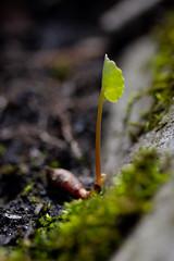 Earth (Bloui) Tags: 2019 eos7d may parcangrignon montréal québec macro macromondays 60mmmacro hmm earth plant vegetal spring fourelements