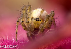PUBLICADA (gallego2) Tags: araña y hoja de coleo mide 3mm largo