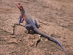 Mwanza Flat-headed Agama Agama mwanzae (nik.borrow) Tags: reptile agama lizard serengeti