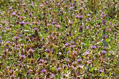 ecosystem/flora/Marsh Barbel(Hygrophila auriculata) (biodiversity western ghats(before it is gone)) Tags: taxonomy:binomial=hygrophilaauriculata acanthaceae shrub diversityindia floraindia
