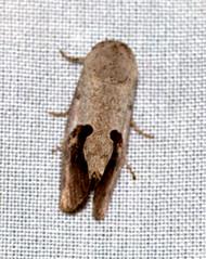 ecosystem/fauna/Nolid Moth(Miaromima coelisigna) (biodiversity western ghats(before it is gone)) Tags: taxonomy:binomial=miaromimacoelisigna nolidae diversityindia indianmoths