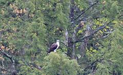 mttom2019-181 (gtxjimmy) Tags: nikond7500 nikon d7500 tamron 150600mm holyoke massachusetts newengland spring bird mttom osprey hawk fishhawk raptor birdofprey