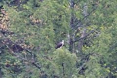 mttom2019-177 (gtxjimmy) Tags: nikond7500 nikon d7500 tamron 150600mm holyoke massachusetts newengland spring bird mttom osprey hawk fishhawk raptor birdofprey