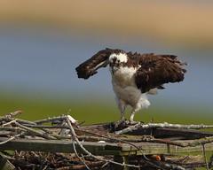 Osprey (ftherit) Tags: osprey nesting fish hawk blackwater nwr canon 1dx ii 600mm