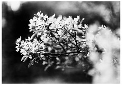 Double Caffe Latte: Caffenol-C print (LarsHolte) Tags: pentax 67 6x7 pentax67 pentax6x7 smctakumar6x7 135mm f40 foma fomapan fomapan100 fomapan100professional caffenolc standdevelopment 100iso mediumformat blackandwhite monochrome bw 120film analog analogue classicblackwhite filmforever filmphotography ishootfilm larsholte homeprocessing flowers garden sunset danmark denmark darkroom print