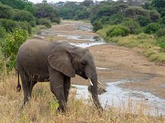 Elephant, Tarangire, Tanzania (Amdelsur) Tags: eléphantdesavane tanzanie taranguire continentsetpays afrique africa africanbushelephant elefante loxodontaafricana tz tza tanzania tembo manyara
