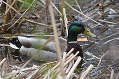 Mallard drake (U.S. Fish and Wildlife Service - Midwest Region) Tags: bloomington mn minnesota 2019 spring april wildlife nature animal mallard waterfowl bird birding