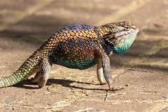 Lizard Tryst (3/3) (Jasper's Human) Tags: desertspinylizard desertbotanicalgarden