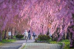 粉紅雨 Pink Rain _MG_9143 (阿Len) Tags: 2019 japan tohoku fukushima koriyama さくら しだれ桜 ふくしま 喜多方 平成最後の桜 日中線 日中線記念自転車歩行者道 日本 東北 福島 喜多方市 福島縣