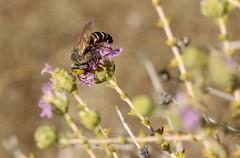 Tachysphex albocinctus f._1770 (Henrik Gyurkovics) Tags: squareheadedwasps tachysphexalbocinctus tachysphex albocinctus crabronidae hymenoptera wasps insects macro greece rhodes faliraki
