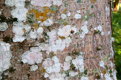 Mexican Lichen Mosaic (peterkelly) Tags: digital canon 6d northamerica gadventures mayandiscovery palenque palenquenationalpark tree bark trunk lichen chiapas