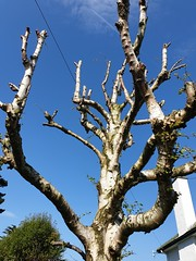 Bare.... Easter 2019 Newcastle Ireland (sean and nina) Tags: easter april 2019 newcastle county co down irish ireland north northern outdoor outside eu europe european sun sunshine sunny tree branch bud branches blue sky contrast wood garden nature natural pruned