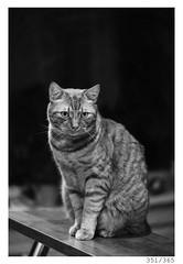 Mišo (Aljaž Anžič Tuna) Tags: mišo cat kitty homecat home ginger gingercat photo365 project365 portrait portraitunlimited onephotoaday onceaday animal animalportrait nikkor nice nikond800 nikon nikon105mmf28 105mmf28 f28 dailyphoto day d800 bw blackandwhite black white blackwhite beautiful