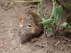 African Grass Rat Arvicanthis niloticus (nik.borrow) Tags: mammal rat ndutu