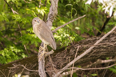 DSC02784 Ralreiger, Squacco Heron, Ardeola ralloides. (jwsteffelaar) Tags: ardeolaralloides ralreiger taxonomy:binomial=ardeolaralloides squaccoheron