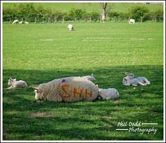 """The Silence Of The Lambs...."" (Phil Dodd CPAGB BPE2*) Tags: lambs fujifilmxt1 countryside theenglishlakes cumbria thegreatoutdoors mirrorlessrevolution sheep xphotographer xt1 colourphotography humour justtakeit thelakedistrict fujifilm xseriesphotography xshooter xphotography xseries fujix xf1855mmf28f4rlens kitlens mirrorlesscamera lakeland"