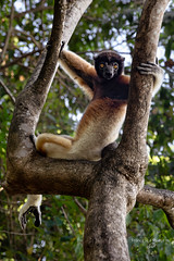 Madagascar Nosy Be (FrancescaBullet) Tags: madagascar lemur apes monkey africa safari wild wildlife chair eyes colors nature vegetation animal plant tree
