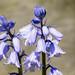 Hyacinthoides non-scripta, Blue Bell
