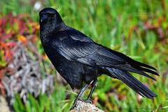 The_Crow_02 (DonBantumPhotography.com) Tags: wildlife nature animals birds blackcrow crow donbantumphotographycom donbantumcom