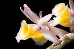 [Laos] Dendrobium polyanthum Wall. ex Lindl., Gen. Sp. Orchid. Pl.: 81 (1830)