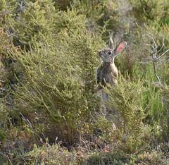 Parque Natural de ses Salines (scandelaibz) Tags: parquenaturalsessalines3519 parque natural ibiza eivissa conejo animales