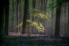 First Light (fieldino34) Tags: bluebells woodland forest mist softlight glow green trees sussex southdowns beautiful nikon nikonphotography nikond750 landscape britishnature light sunbeam