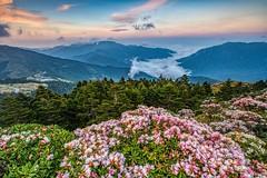合歡山石門山●玉山杜鵑雲海夕彩   Taiwan Alpine Rhododendron Sunset (Shang-fu Dai) Tags: 台灣 taiwan 南投縣 仁愛 合歡山 雲海 hehuan sonya7r2 canon1635mmf28 landscape sunset 日落 夕陽 sun 高山杜鵑 玉山杜鵑 杜鵑 杜鵑花 alpinerhododendron formosa 3416m 3417m 合歡主峰 主峰 雲 森林 天空 風景 樹 山 happyplanet asiafavorites