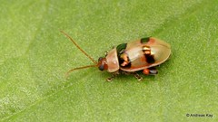Flea beetle, Alticini, Galerucinae (Ecuador Megadiverso) Tags: alticini andreaskay beetle chrysomelidae citynaturechallenge coleoptera ecuador fleabeetle galerucinae leafbeetle tena