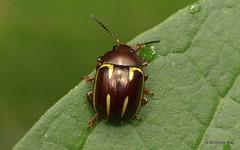 Leaf Beetle, Chrysomelidae (Ecuador Megadiverso) Tags: andreaskay beetle chrysomelidae citynaturechallenge coleoptera ecuador leafbeetle tena