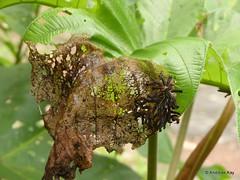 Leaf Beetle Larvae, Coelomera cayennensis (Ecuador Megadiverso) Tags: andreaskay beetle chrysomelidae citynaturechallenge coelomeracayennensis coleoptera ecuador larva leafbeetle tena