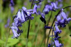 Blubells (Ken Meegan) Tags: bluebells tinternwood tinternabbey saltmills cowexford ireland flowers wood 552019