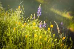 On the Buttermilk Trail (HSS) (buffdawgus) Tags: lupine canonef24105mmf4lisusm canon5dmarkiii sierranevadafoothills wildflower poppy lightroom6 poppies topazstudio buttermilktrail southyubariverstatepark nevadacounty california