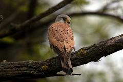 AL6I6370 (chavko) Tags: predator flickr wildlife slovakia chavko kestrel common tinnunculus falco sky bird animal tree