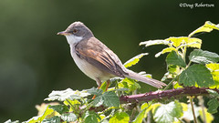 Whitethroat at Ham Wall (DougRobertson) Tags: whitethroat hamwall rspb wildlife animal nature bird birdwatcher somerset