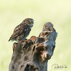 Little owl! (Jambo53 ()) Tags: crobertkok nikond800 nikon500f4