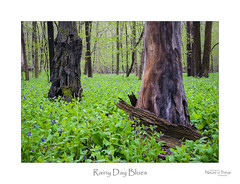 Rainy Day Blues (baldwinm16) Tags: april il illinois places flora foliage forest forestfloor green midwest nature naturepreserve outdoors outside plants season spring springgreen springtime woodland woods