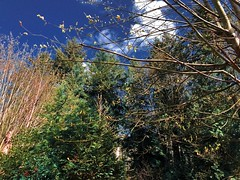 Picturebook graphics (WallisColours) Tags: seattle redmond washington trees spring nature sunny foliage pine clouds blue sky pacific northwest pnw west coast