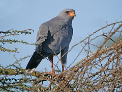 Dark Chanting Goshawk Melierax m. metabates (nik.borrow) Tags: bird goshawk raptor ndutu