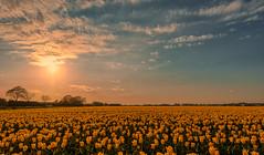 In Search of Sunrise. (Alex-de-Haas) Tags: 1635mm d500 dutch europa europe holland nederland nederlands netherlands nikkor nikkor1635mm nikon nikond500 noordholland agriculture akkerbouw beautiful beauty bloemen bloemenvelden boerenland bollenvelden bulbfields farmland farming flowerfields flowers landbouw landscape landscapephotography landschaft landschap landschapsfotografie lente lucht mooi polder pracht schoonheid skies sky spring sundown sunset tulip tulips tulp tulpen zonsondergang warmenhuizen northholland