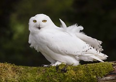 Snowy Owl (Male) (maddiver58) Tags: raptor owl snowy workshop tpimages