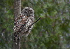 Barred Owl (aj4095) Tags: barred owl nature wildlife outdoor tree perch ontario nikon canada
