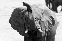 African Bush Elephant, Éléphant de savane (Loxodonta africana) - Chobe National Park, BOTSWANA (brun@x - Africa Wildlife) Tags: 2019 bruno portier brunoportier chobe botswana national park chobenationalpark mammifères wild wildlife african africa afrique big5 éléphant africanbushelephant bush savanna savane éléphantdesavane éléphantidés elephantidae proboscidea pachydermes