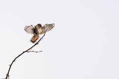 66709 - Crécerelle d'Amérique Mâle - Male American Kestrel - Crop (xVanHovenx) Tags: nature animal oiseau bird arbre tree faucon falcon crécerelle kestrel crécerelledamérique americankestrel oiseauxdeproie birdsofprey sonya7iii sigmamc11 sigma150600mmcontemporary