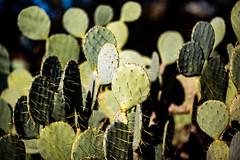 I Disappear in Your Name (Thomas Hawk) Tags: america arizona desertbotanicalgarden papagopark usa unitedstates unitedstatesofamerica cacti cactus desert phoenix fav10