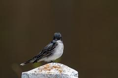 ashleyreservoir2019-55 (gtxjimmy) Tags: nikond7500 nikon d7500 tamron 150600mm ashleyreservoir holyoke massachusetts spring newengland bird easternkingbird
